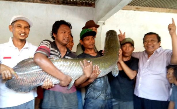 ikan arapaima 2