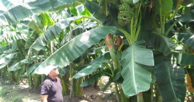 kebun pisang 1
