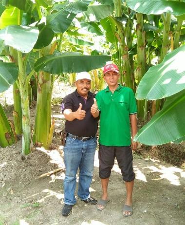 kebun pisang 3