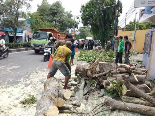 pohon tumbang2