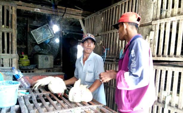 pedagang ayam