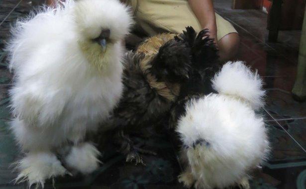 ayam hias 3