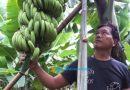 Menggiurkan, Geluti Kebun Pisang di Lahan Satu Hektar, Prediksi Panen hingga Rp 700 Juta